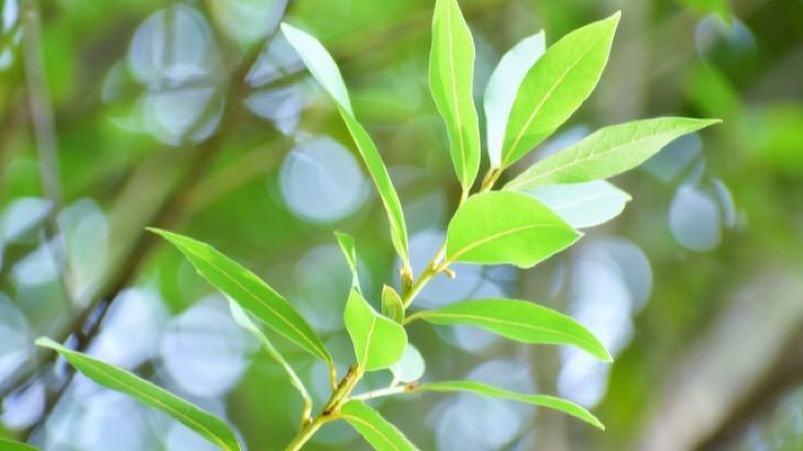 【ローレル(月桂樹)】アロマでおすすめの使い方と効果とストーリー